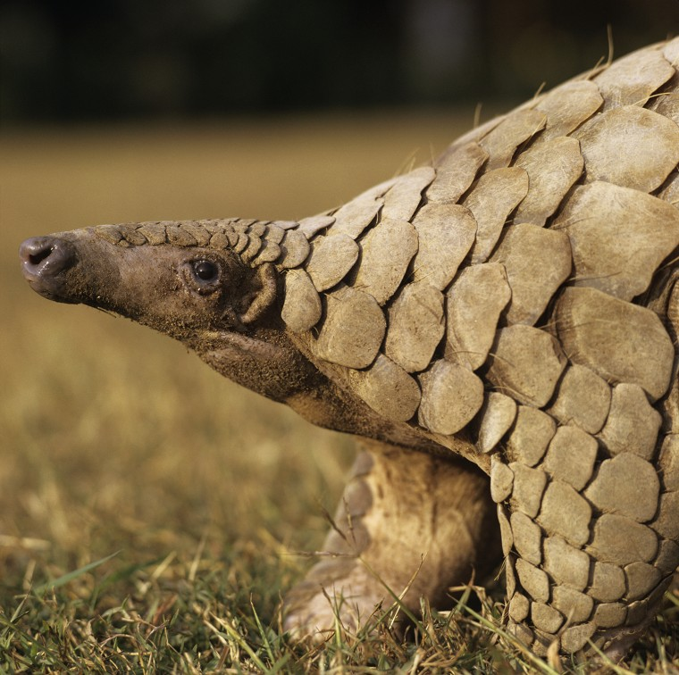 Indian (thick-tailed) pangolin Manis cra..........