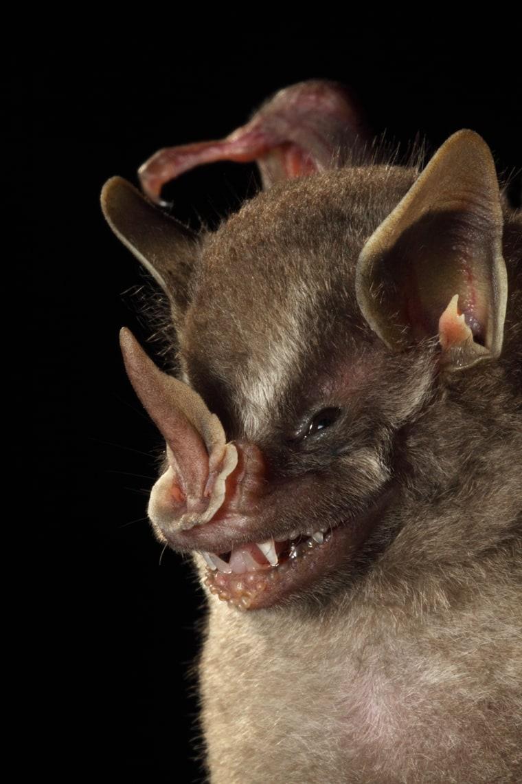 Leaf-nosed Bat (Dermanura sp.) La Selva..........