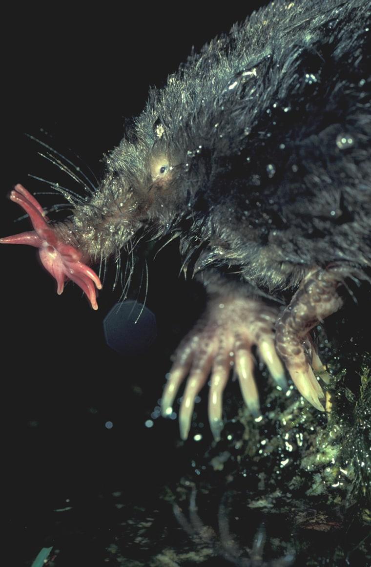 Star Nosed Mole Star Nosed Mole Tenacies c. cristata