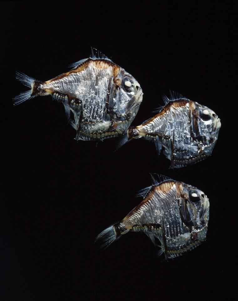 Hatchetfish, Argyropelecus sp. Portugal..........