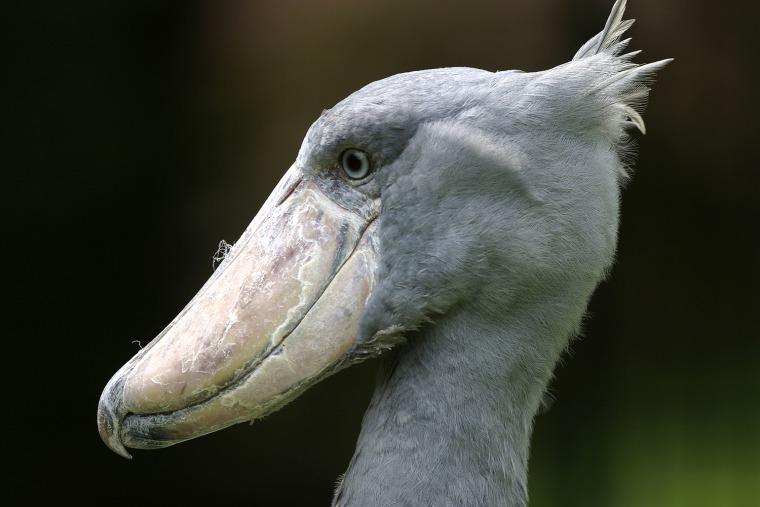 Shoebill / Whale-headed Stork