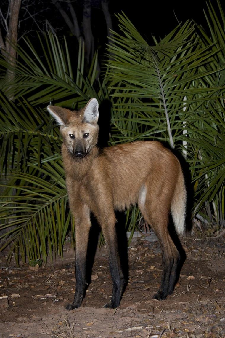 Maned Wolf, Chrysocyon brachyurus, talle..........