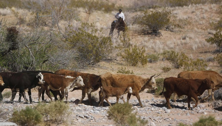 Image: Cattle that belongs to rancher Cliven Bundy are released near Bunkerville