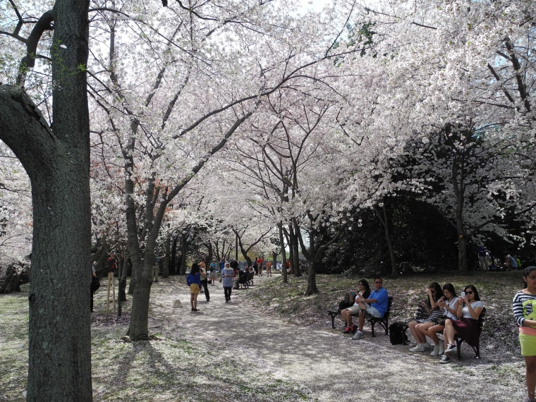 Along the viewing path, the light pink and white petal canopy offered the illusion of snow.