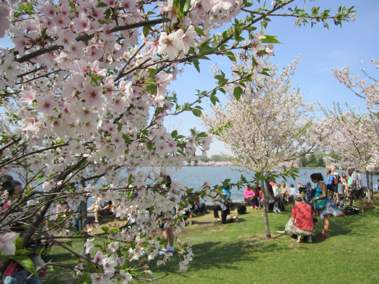 This year, the blooming of the cherry blossoms coincided perfectly with the festival which is planned months in advance, before the blooms. The blossoms drew a record breaking number of visitors.