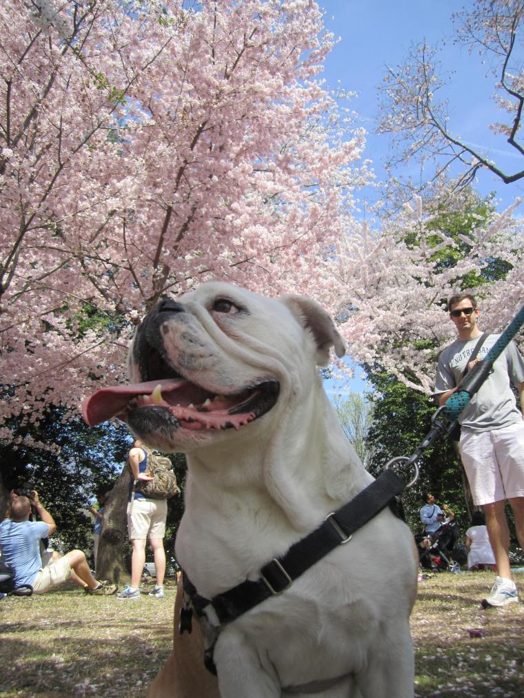 DC Native Luna enjoyed chasing the falling Cherry Blossom petals.