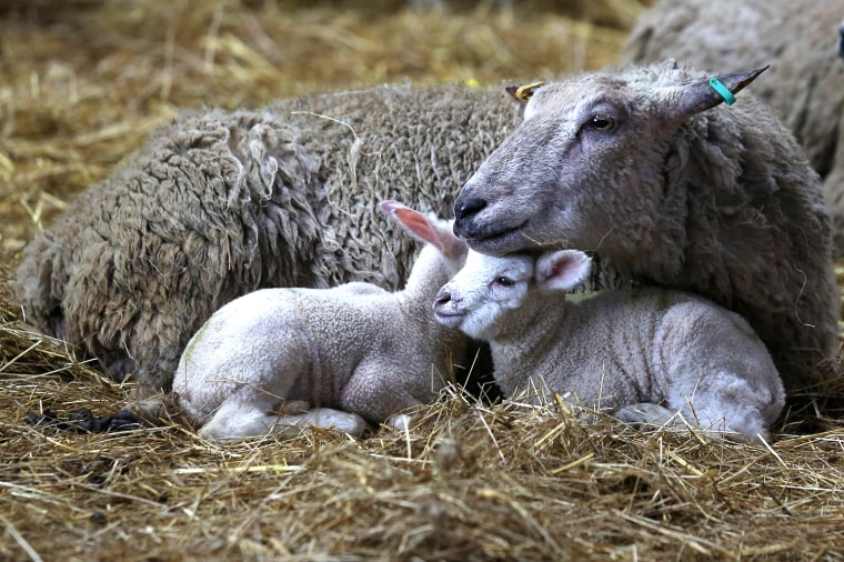 Image: Lambs Born To Ewes Rescued From Flood Water