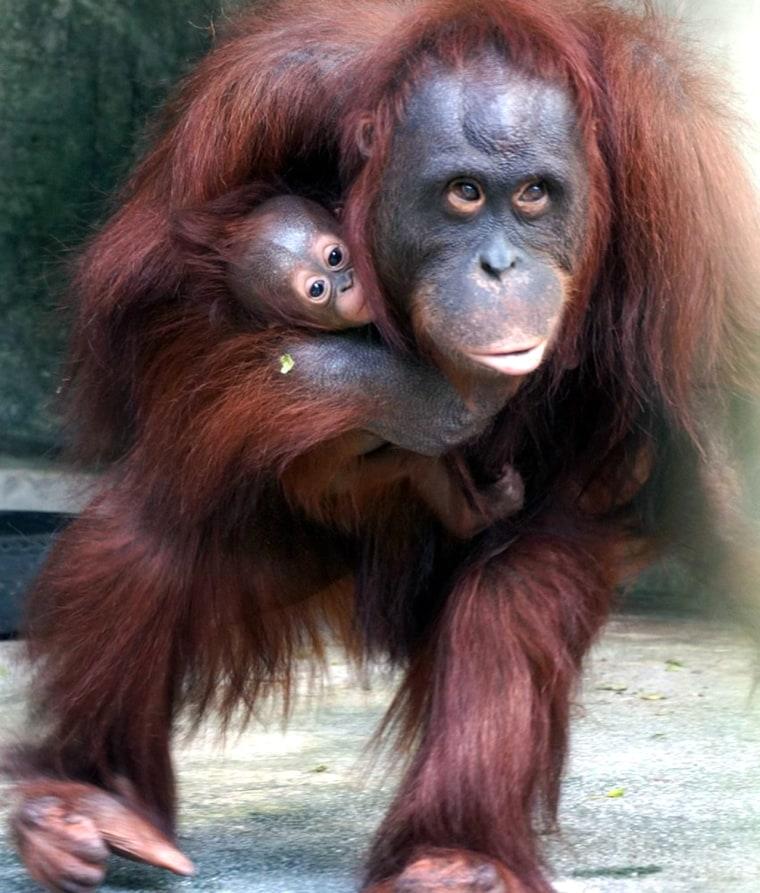 Image: Baby orangutan at Taipei Zoo