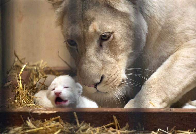 Image: Three white lion cubs born in Borysewo Zoo Safari