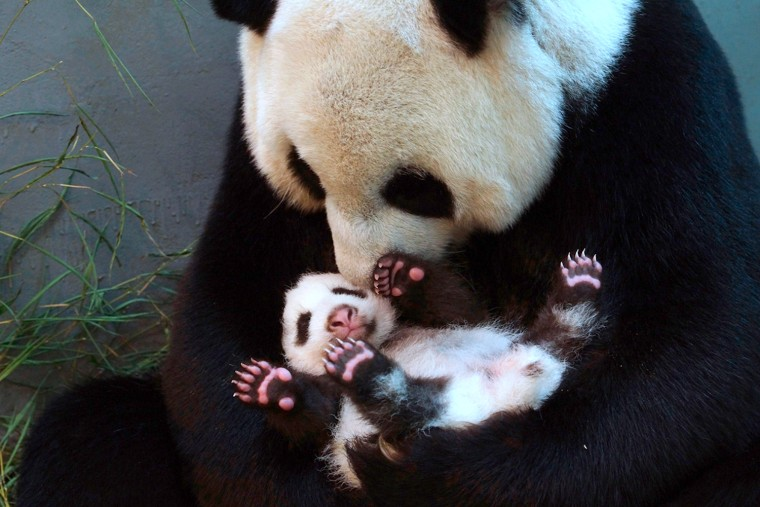 Image: TAIWAN-CHINA-DIPLOMACY-PANDA