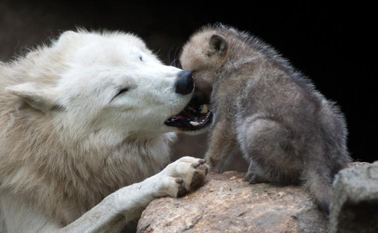 Image: TOPSHOTS-GERMANY-ANIMALS-ZOO-WOLF