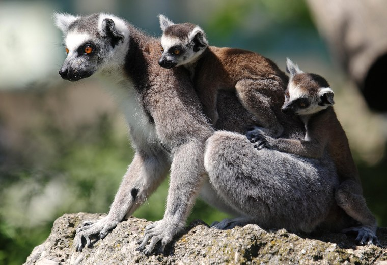 Image: A Lemur catta, also known as ring-tailed lemur, with its seven-week-old cubs clinging to its back sits on a rock at the Schoenbrunn zoo in Vienna