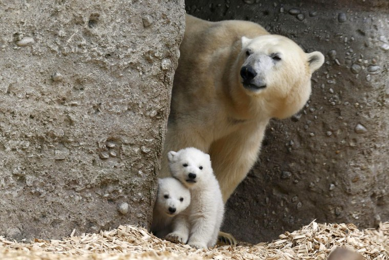 Image: Twin polar bear cubs stand with their mother Giovanna in their enclosure at Tierpark Hellabrunn in Munich