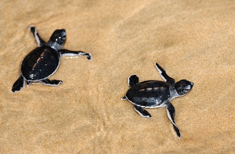 Image: Sea Turtle Conservation Works To Save Endangered Turtle Species