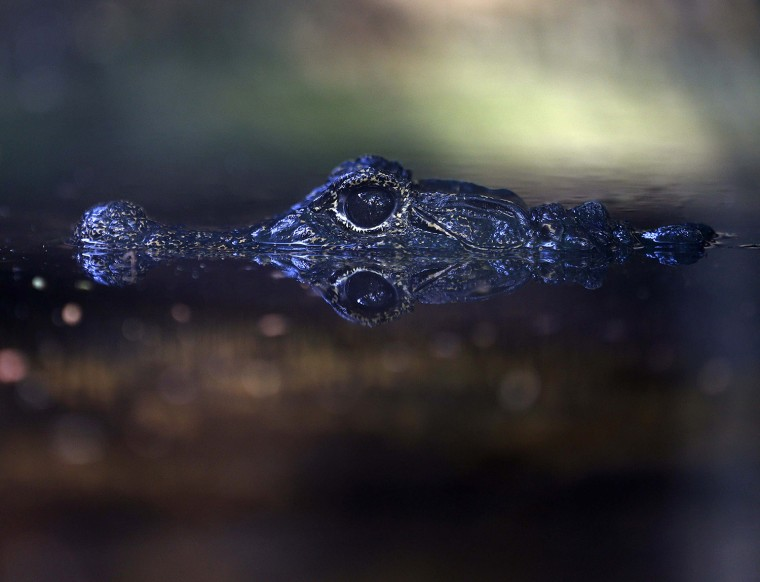 Image: A Dwarf crocodile is reflected in a pond at Colombo's Zoological Gardens