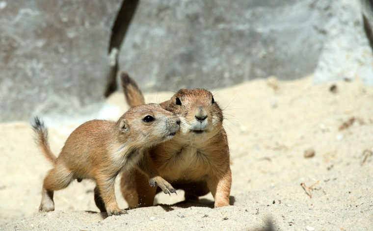Image: Prairie dog offsprings at Hanover zoo