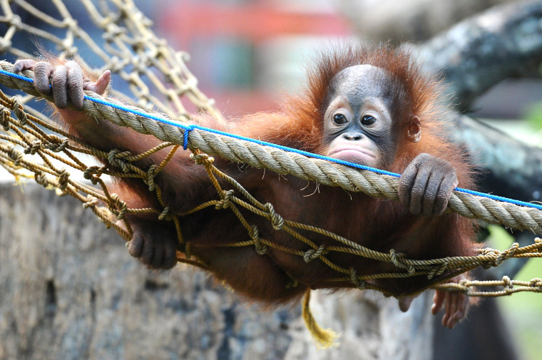 Image: Orphaned Orangutans Are Released Back Into The Wild