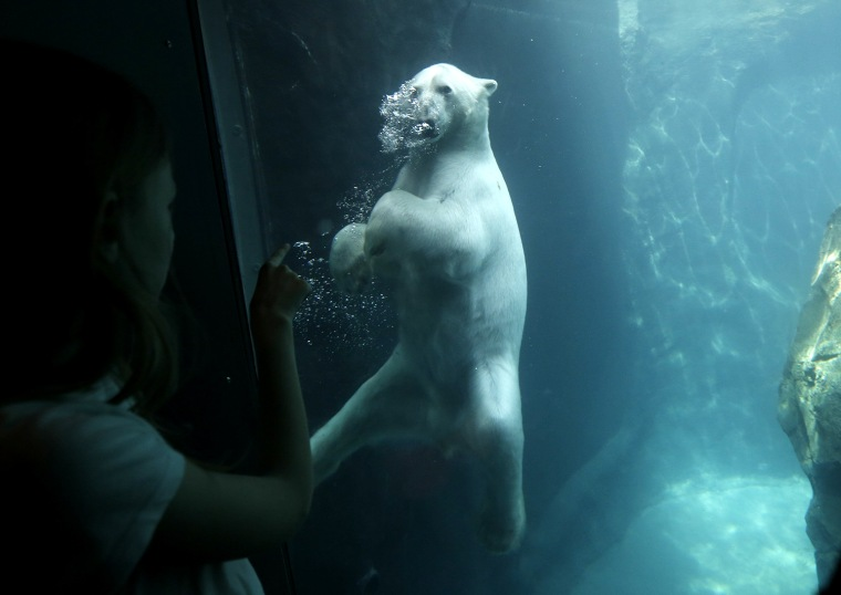 Image: A visitor looks at a polar bear in the newly opened polar bear world in the zoo of Vienna