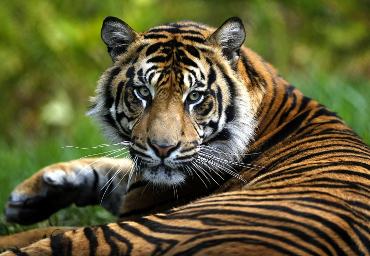 Image: A young male Sumatran tiger sits in a new $19.5million tiger habitat at the San Diego Zoo's Wild Animal Park in San Diego's San Pasqual Valley