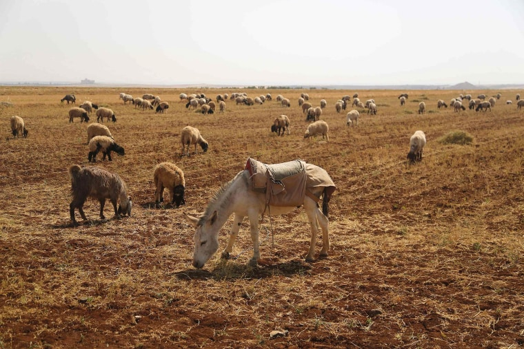 Image: Animals herd on a field in Aleppo Countryside