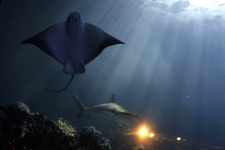 Image: Manta ray and a shark are seen in a tank during a media tour before the opening of the Inbursa Aquarium in Mexico City