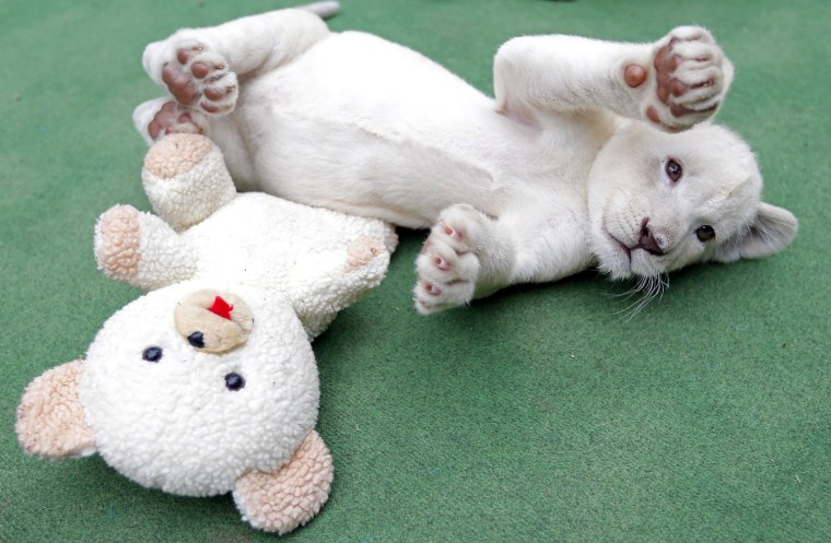 Image: A seven-week-old white lion cub plays at a private zoo in Abony