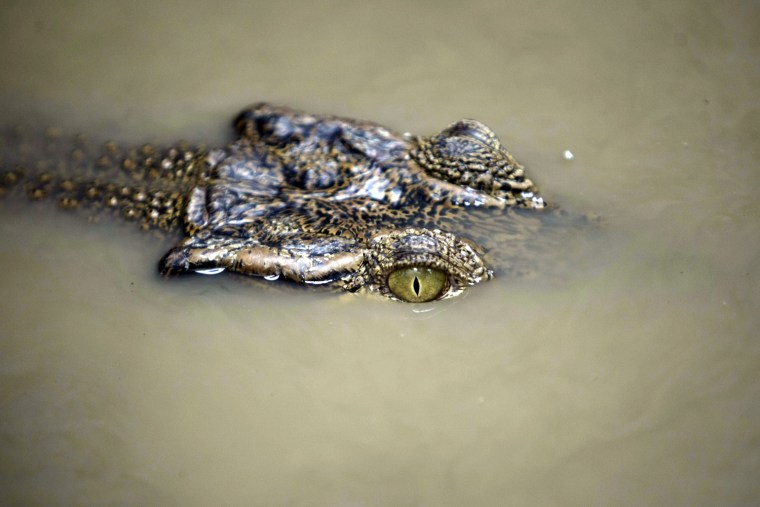 Image: Illegal crocodile evacuated by Aceh Natural Resource Conservation Agency