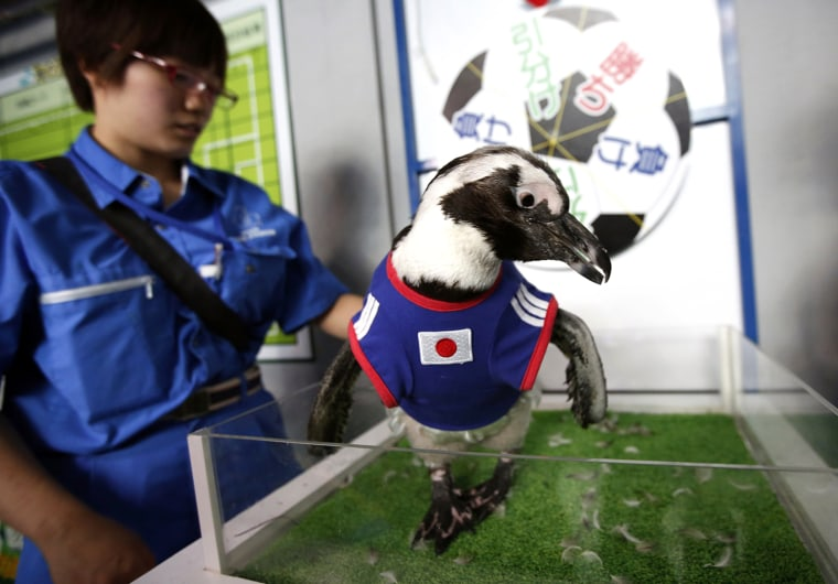Image: Two-year-old African penguin named Aochan, wearing the Japanese soccer team jersey, prepares to make a prediction on the result of Japan's 2014 World Cup soccer match against Ivory Coast at Shinagawa Aqua Stadium aquarium in Tokyo