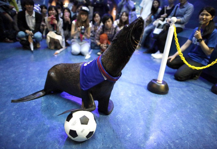 Image: Six-year-old female sea lion Chanto controls a ball during a new show in support of the national football team for the upcoming the 2014 World Cup soccer tournament, at the Shinagawa Aqua Stadium aquarium in Tokyo