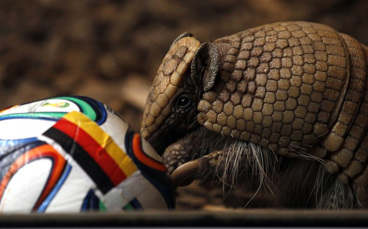 Image: The armadillo called Norman, Germany's World Cup oracle, approaches the soccer ball representing Germany as he makes his prediction for the team's opening World Cup match against Portugal on June 16, in the western city of Muenster
