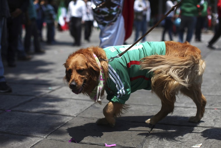 Image: A Mexican soccer fan walks her dog, clad in a jersey of Mexico's team, after Mexico's win over Cameroon in their 2014 World Cup soccer match, at the Angel de la Independencia monument in Mexico Cit