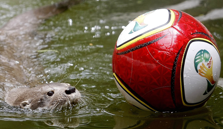 Image: ANIMALS IN A COLOMBIAN ZOO PLAY WITH SOCCER BALLS IN HONOR TO THE FIFA WORLD CUP 2014