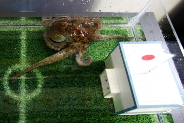 Image: An octopus named Hacchan predicts Japan's victory in their 2014 World Cup soccer match against Ivory Coast by choosing the mock goal with the Japanese national flag, at Shinagawa Aqua Stadium aquarium in Tokyo