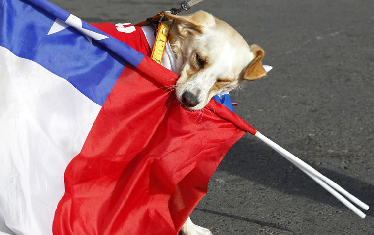 Image: A dog wearing a Chilean national soccer team jersey plays with Chilean national flags beore the start of its travel with its owners from Valparaiso city to Brazil for the 2014 World Cup