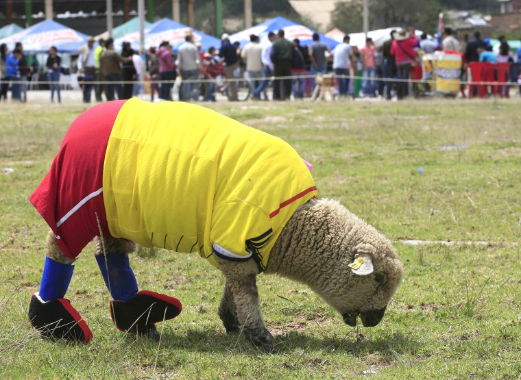 Image: A sheep, dressed in a jersey in the colours of the Colombian national soccer team, grazes on grass during an exhibition, prior to the 2014 World Cup in Brazil, in Nobsa