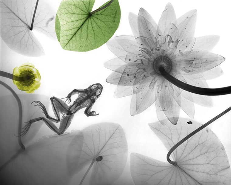 Frog and water lilies, X-ray
