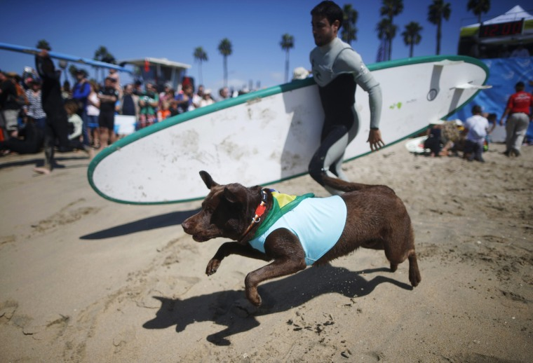 Image: A dog runs down the beach to compete in the 6th Annual Surf City surf dog contest in Huntington Beach