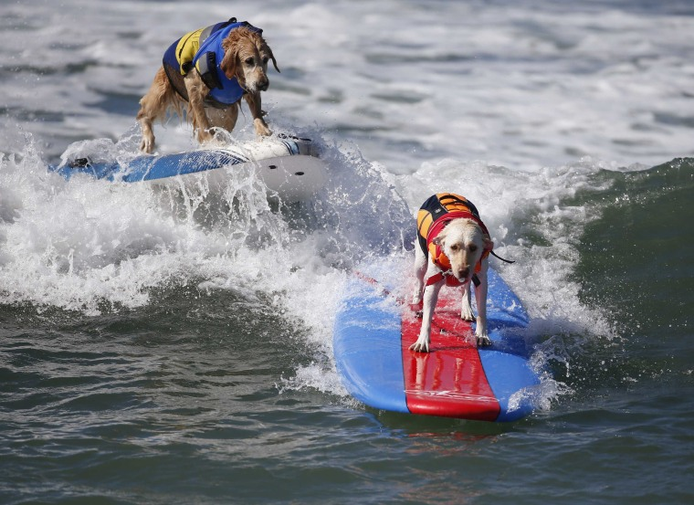 Image: Dogs compete at the 6th Annual Surf City surf dog contest in Huntington Beach