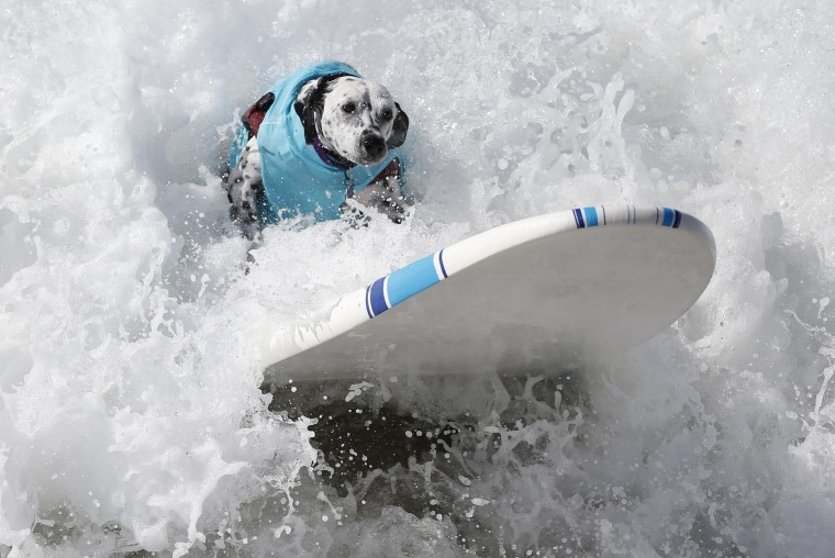 Image: A dog surfs at the 6th Annual Surf City surf dog contest in Huntington Beach
