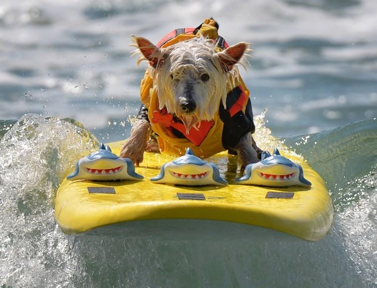 Image: US-ANIMAL-SURF-DOG