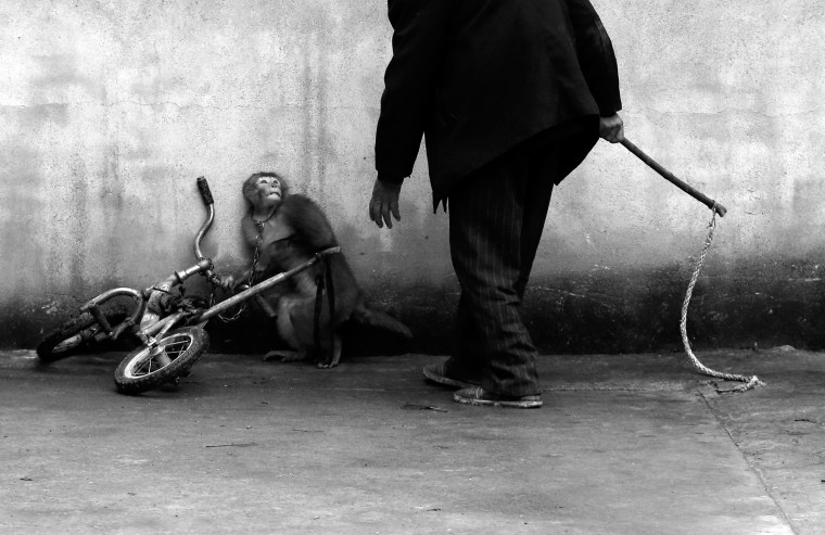 A monkey being trained for circus cowers as its trainer approaches in Suzhou, Anhui Province, China. With more than 300 roupes, Suzhou is known as the home of the Chinese circus