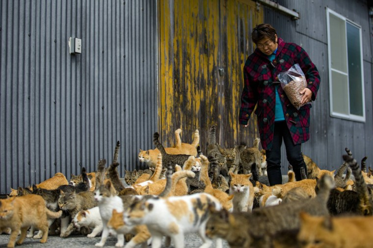 Image: Cats crowd around village nurse and Ozu city official Atsuko Ogata as she carries a bag of cat food on Aoshima Island in Ehime prefecture in southern Japan