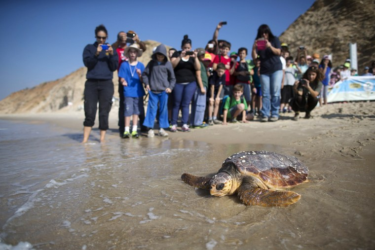 Image: BESTPIX  Sea Turtles Freed Back To Nature