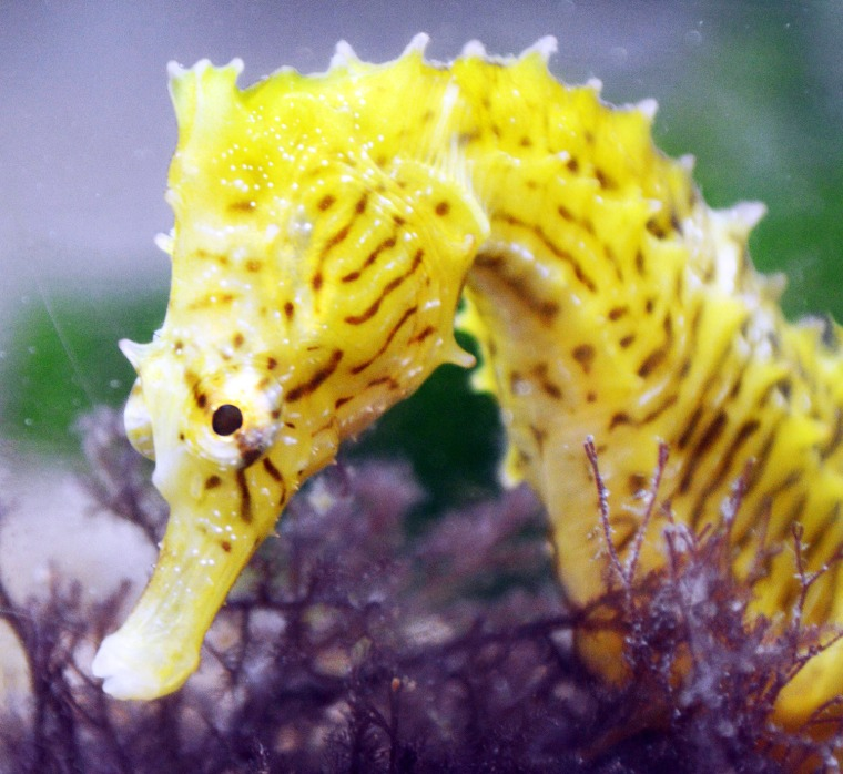 Image: FRANCE-SCIENCE-BIOLOGY-SEAHORSE