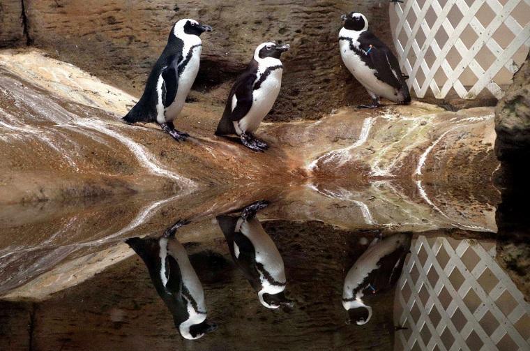 Image: TOPSHOTS-KUWAIT-ANIMAL-PINGUIN-AQUARIUM