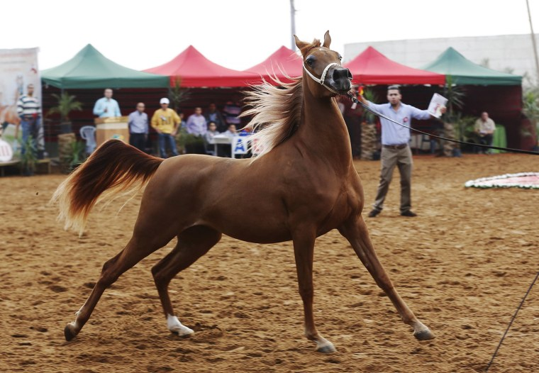 Image: A pure-bred Arabian horse is showed off by his trainer during a beauty contest at the Jericho Equestrian Club
