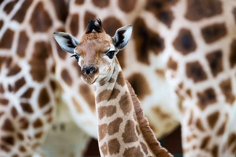 Image: GERMANY-ANIMALS-ZOO-GIRAFFE