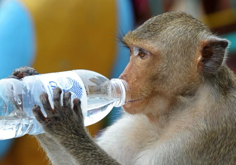 Image: THAILAND-FESTIVAL-ANIMAL-MONKEY