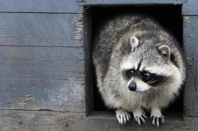 Image: Tyoma, a male raccoon, looks out of his wooden refuge inside an open-air cage where he hibernates at the Royev Ruchey zoo in Krasnoyarsk