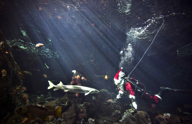"Image: ""Scuba Santa"" swims in the Strait of Georgia display while entertaining children at the Vancouver Aquarium in Vancouver"